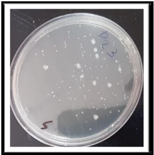 Figure 1 : Petri plates with candida colonies